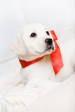 White puppy with red ribbon on his neck Royalty Free Stock Photos