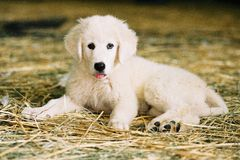 White puppy resting on straw Stock Photo