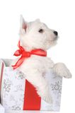 White puppy with ribbonin gift box Stock Photo
