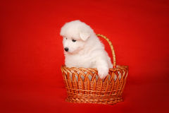 White Puppy of Samoyed Dog in Basket on Red Background. Stock Images