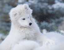 White puppy of Samoyed dog. Monochromatic wintertime horizontal outdoors image Royalty Free Stock Photography
