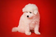 White Puppy of Samoyed Dog on Red Background. Stock Photo