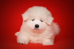 White Puppy of Samoyed Dog on Red Background. Royalty Free Stock Photos