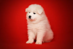 White Puppy of Samoyed Dog on Red Background. Royalty Free Stock Photography