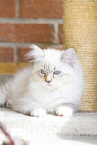 White puppy of siberian cat, playing with a feather on the scrat Royalty Free Stock Photo