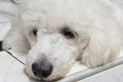 White puppy sleep in front of the house. White puppy sleep in front of the house on the tile floor Royalty Free Stock Image