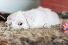 White puppy sleeping, resting on brown skin, miniature Schnauzer