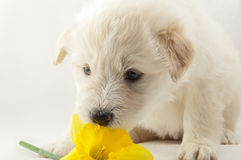 White puppy South Russian Shepherd played Stock Image