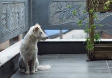 White puppy Stock Photos