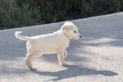 White puppy Stock Photography