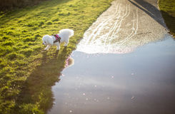 White puppy walking around a puddle. In spring Royalty Free Stock Photo