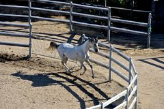 White thoroughbred arab horse galloping. White pure blood arab horse with black mane galloping inside a rot Royalty Free Stock Images