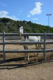 White pure blood arab horse. With black mane inside a rot Stock Photo