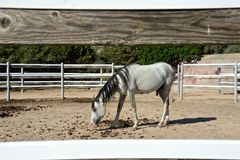 White thoroughbred arab horse. White pure blood arab horse with black mane inside a rot Stock Image