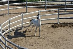White thoroughbred arab horse. White pure blood arab horse with black mane inside a rot Stock Photo
