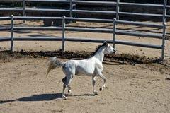 White thoroughbred arab horse trotting Stock Photos