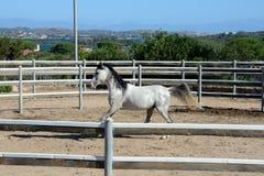 White thoroughbred arab horse trotting Royalty Free Stock Image