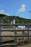 White pure blood arab horse. Inside a rot Royalty Free Stock Photo