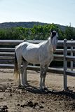 White pure blood arab horse. Inside a rot Royalty Free Stock Photos