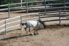 White pure-blooded Arab horse Royalty Free Stock Image