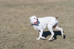 White pure bread boxer dog. Playing in off leash park Royalty Free Stock Images