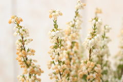 White and pure. White flowers Royalty Free Stock Photos