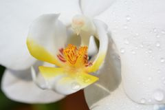 Orchid Phalaenopsis close. White pure orchid with water drops with yellow and red color and dew Royalty Free Stock Photos