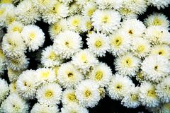 White pure yellow flowers, natural background, gardens. White pure yellow flowers, winter flowers, green leaves, natural beautiful background. Smelling flowey Stock Image