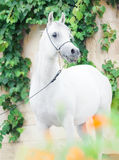 White  purebred arab at grape background Stock Images