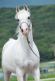 White purebred arab in motion Stock Images