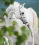 White purebred arabian stallion Royalty Free Stock Photos