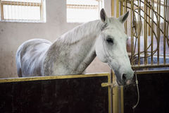 White purebred horse standing in stable and looking at camera. Beautiful white purebred horse standing in stable and looking at camera stock photos