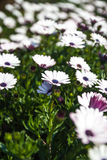 White and purple african daisy flower Stock Photo