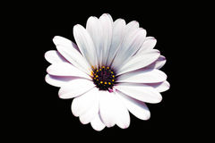 White and purple african daisy flower Royalty Free Stock Photography