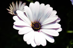 White and purple african daisy flower Royalty Free Stock Photo