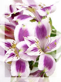 White and Purple Alstroemerias Royalty Free Stock Images