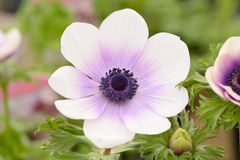 White and purple Anemone Flower Royalty Free Stock Photos
