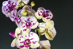 White and purple blooming orchid. Bouquete, close up, spring time Royalty Free Stock Photography
