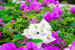 White and purple bougainvillea in the garden. Royalty Free Stock Photos