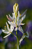 White and Purple. White Camas Lily (Camassia sp.) in a field of purple ones. Oregon Royalty Free Stock Image