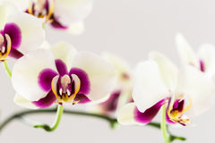 White with Purple Centre Orchid on White Background, Close-up Stock Images