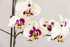 White with Purple Centre Orchid on White Background, Close-up Royalty Free Stock Photography