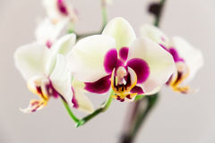 White with Purple Centre Orchid on White Background, Close-up Royalty Free Stock Photo