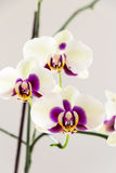 White with Purple Centre Orchid on White Background, Close-up Stock Photo