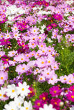 White and purple Cosmos flower in field Stock Photo