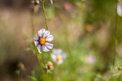 White & purple cosmos flower standing out. With blurred background stock image