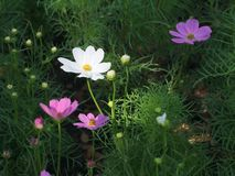 The white and purple cosmos flowers in the garden stock photo