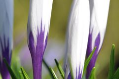 White and purple crocus Royalty Free Stock Photography