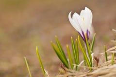 White and purple crocus Stock Photography