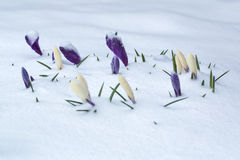 White and purple crocus flower bed covered with snow. Royalty Free Stock Photos